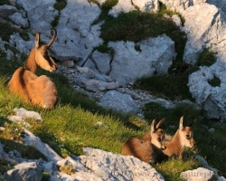 Peace reigned on the small steep cliffs meadow. Chamois mother have only sleepily supervise your cubs.