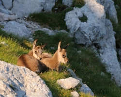 How plush toys are the two small chamois cubs.