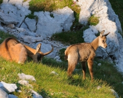 Morning room on a rocky projection alpine meadows. Chamois mother be heated with her cubs in the first warm rays after a cold spring night.