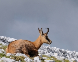 Chamois are always close to heaven, they are charming creatures.