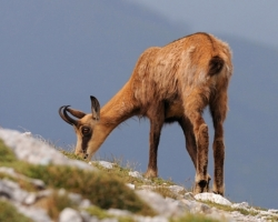 Alpine meadows crate reech offer of aromatic herbs for chamois.