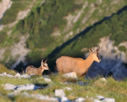 Young chamois explores fabulous mountain world around. Every day in the Alps brings him a lot of surprises.