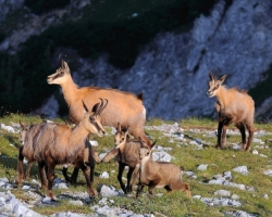 Photo captures family of the chamois in the early morning games.