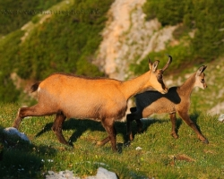 Chamois are active in the morning and look for fragrant herbs to dazzling alpine meadows.