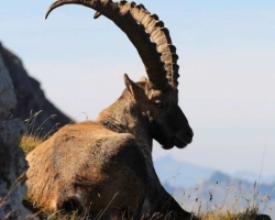 Alpine ibex from Le Vanil Noir, the jewel of the swiss Pre-Alps