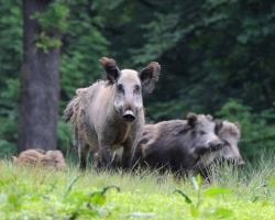 Wild boar are usualy concentrated in the group. Exceptions are old males who are loners.