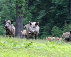 Herd of the wild boar on the meadow
