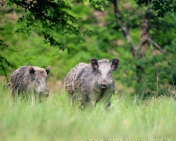 The leading wild boar followed the whole flock, one by one.