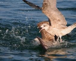 Heming-Gull I shot over 29 IFWP Congress on Lac Leman