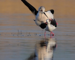 Name Ballet of love me best fits this picture when couple of Black-winged Stilt danced in an embrace in the shallow waters of Lake Neusiedl.