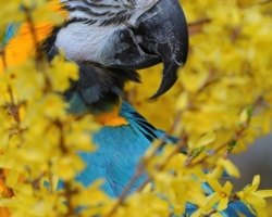 I am Blue and Gold Macaw with own name Leonard and I fly freely in the garden. In the the curls of golden rain, I feel wonderful.