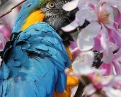 Nádherné ružové tóny magnólie a modrožlté šaty tohto úchvatného prekrásneho papagája vytvárajú očarujúci ohňostroj farieb.