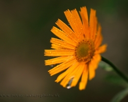 Mountain arnica photographed just after rain, when the raindrops as tears trickling down.