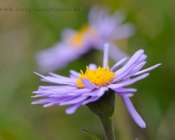 Beautiful purple Alpine aster flover from Alpine meadows knows almost everyone. Its purple and yellow colors attracted insects.