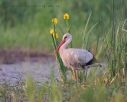 This photo of white stork enriched yellow irises / Iris pseudacorus /, which in this period shine in wet places in inundation as gems.