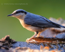 Running around beech stump at the sunset light lookong this Eurasian Nuthatch for food.