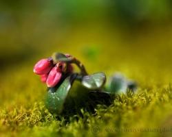 Ako zo zelenej periny sa z machu dvíha tento drobný výhonok brusnice.