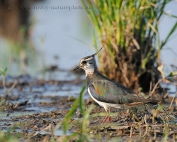 Northern Lapwing entertain shallow recessons in the inundation of the River Morava with distinctive sound and loud expressions flitting.
