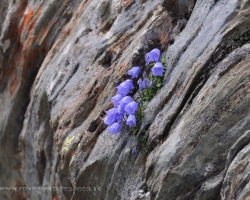 And Nature finds a way. Campanula attached to the bare rock below the highest peak of Austria - Grosslockner.