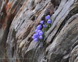 A príroda si nájde cestu. Zvonkček uchytený na holej skale pod najvyšším štítom Rakúska Grosslocknerom