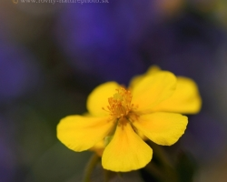 One of the many alpine flowers charming with its deep yellow color.