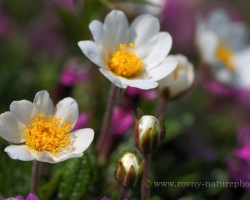 """Cheerfully """"jumping"""" on alpine meadow white flowers of Mountain avens."""