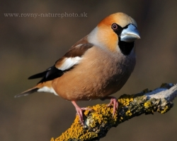 Beautiful are pastel color transitions of Hawfinch.