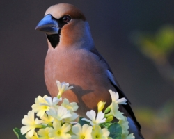 Hawfinch sat on the primrose. His natty cream-colored clothing is in contrast with a bright color of primrose.