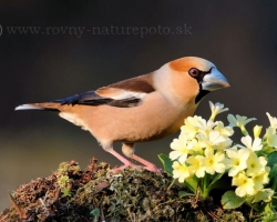 Hawfinch and the primrose, or two garden gems.