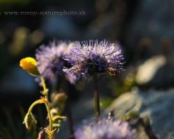 Globe Daisy shooting in the Alpine meadow Rax Alpen