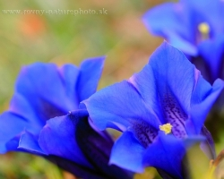 Who goes to the mountains, surely knows this unforgettable sky-blue gentian. From its flower breathes pure air of peaks, dew and cold brooks and blue sky.
