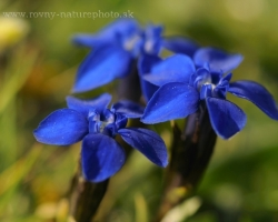 Beutiful small species fo gentian. Photo is from Austian Alps.