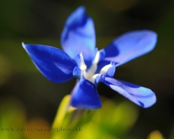 Color of Gentian and also this small species so striking blue like depths of the seas and sky in one.