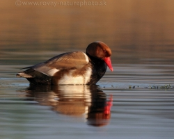 Red-crested Pochard admires their colors on the surface of Lake Neusiedl.