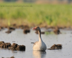 Greylag goose is a beautiful inhabitant of inundation of the river Morava. During spring months use peaceful tieme until the spring hunting guns are silent.