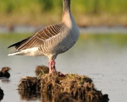 Very careful should be Graylag goose in the dangerous area of Morava river inundation.