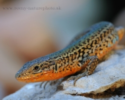 Graceful and fast are beautiful dalmatian wall lizards. Their beautiful color varies from individual to individual.