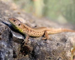 On the hot stone at the evening spend its time the young sand lizard.