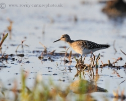Picture shows Wood Sandpiper, our typical transmigrant, looking for food during stop on the shallow waters in the Morava river floodplain area.