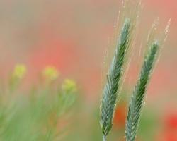 Na poli kde s prevahou červených kvetov divých makov /mak vlčí/ sem trčí kláísok obilia