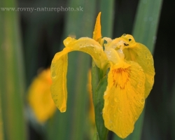 Typical water iris occurring in the rivers surrounding. In this case, wild plant.