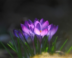 When the morning sun lit into colors of crocus flowers doubled its splendor.