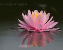 Nádherné tak na dosah a pritom tak vzdialené a tajomné sú kvety lekien.