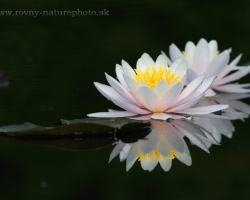 Proudly float on water, seduce with shape and color - Water Lilies