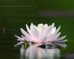 White, pink, yellow, red, purple, orange and blue with thousands of color tones - these are the majestic water lilies.