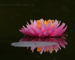 Water lilies are so within reach and yet so distant, unattainable protected with water around.