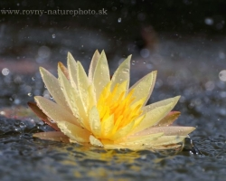 Water Lily Texas Dawn