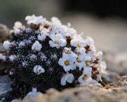 Sun slowly warms numbed fine leaves saxifrage, which at night decorated lace ice
