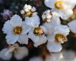 Night frost lace embellished saxifrage flowers and sunshine just lightly stroking his leaves