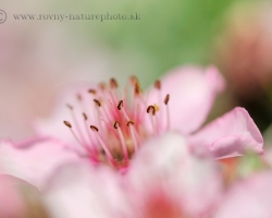 """Flowers of this beautiful plant of """"Alpine garden"""" decorate silent cliffs of Julian Alps and its delicate pink impart a bit of dreaming."""